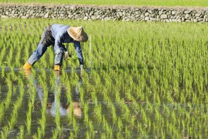 Healthy Crops team used gene editing to develop new disease-resistant rice equivalent to conventional rice