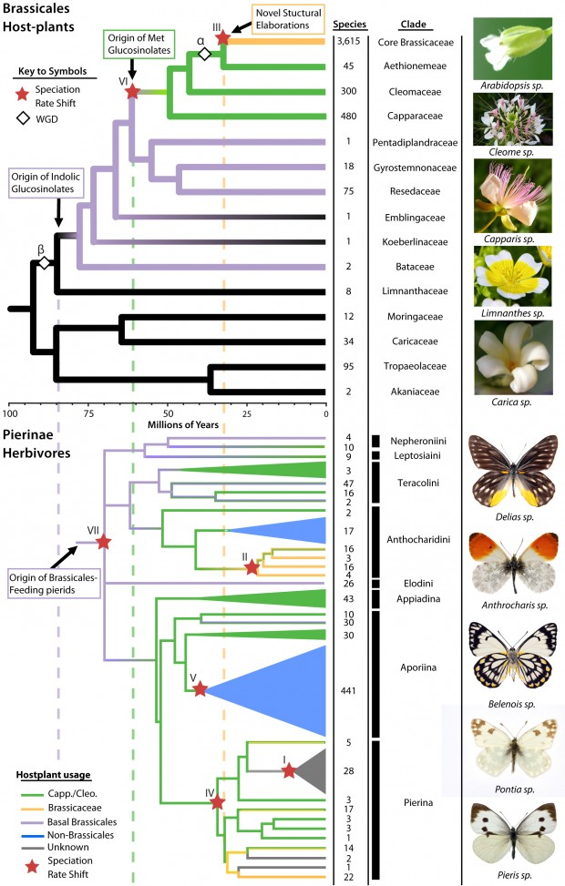 Chris Pires and colleagues mapped the evolution of Brassicales and butterflies to find how each evolved to combat the defenses of the other. | Courtesy Chris Pires