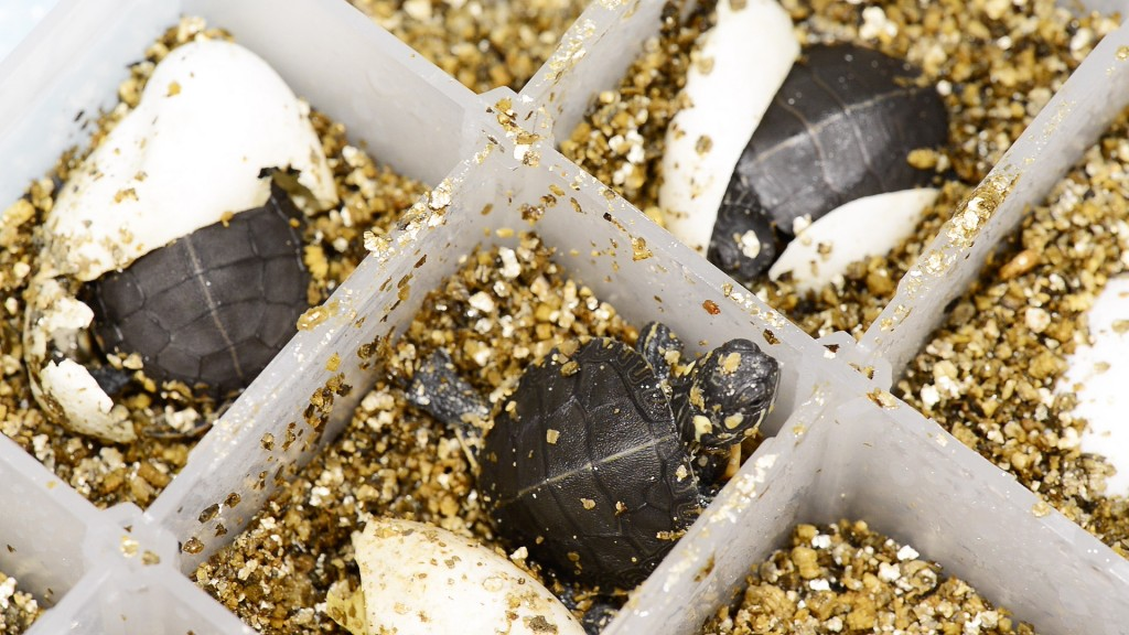 Painted turtle eggs were brought from a hatchery in Louisiana, candled to ensure embryo viability and then incubated at male-permissive temperatures in a bed of vermiculite. Those exposed to BPA developed deformities to testes that held female characteristics. Photo by Roger Meissen | © 2015 - MU Bond Life Sciences Center
