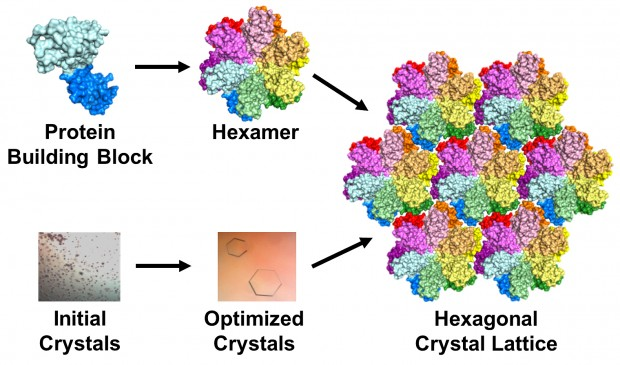 The protein building block of HIV capsid (top left) can assemble to form a hexamer (middle left). Crystals grown using this building block (top and middle left) contain an array or lattice of hexamers (bottom). | Image by Karen Kirby and Anna Gres