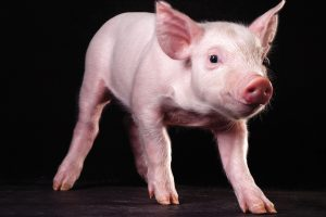 Pigs pave the way for advancements in IVF treatment