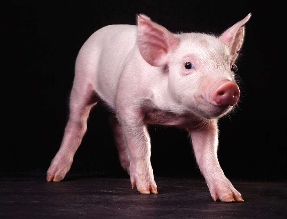 New research makes IVF four times more efficient to create pigs like this for genetics research and breeding in labs like that of Randy Prather at MU. | Photo by Nicholas Benner.
