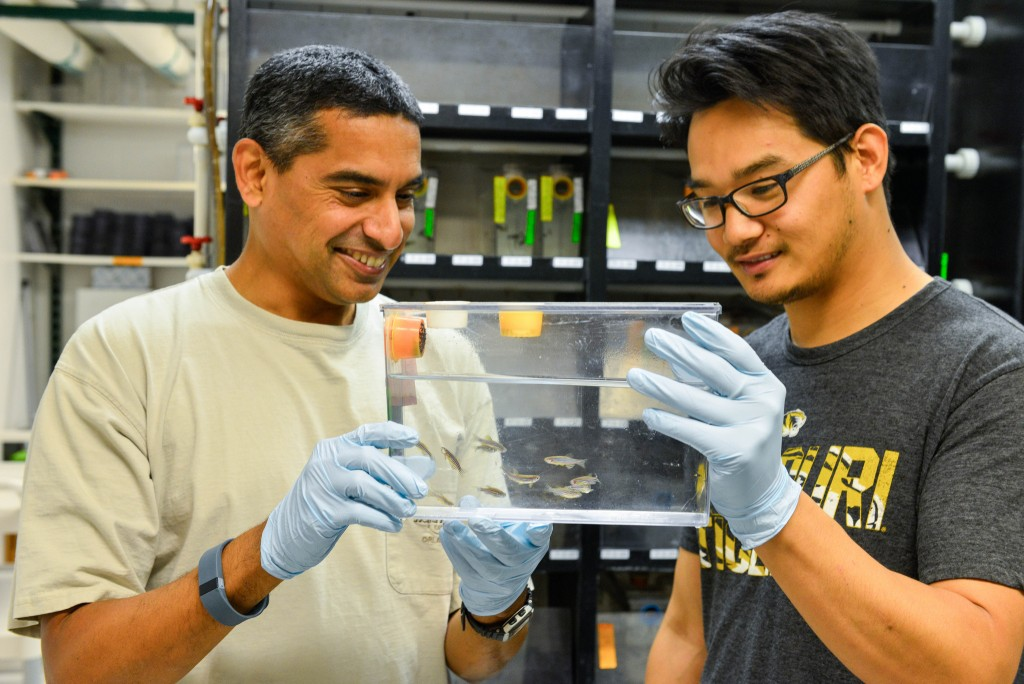 Bond Life Sciences Center Biologist Anand Chandrasekhar and PhD candidate Suman Gurung take a look at some zebrafish they've modified using CRISPR. //photo by CALEB O'BRIEN/Bond LSC
