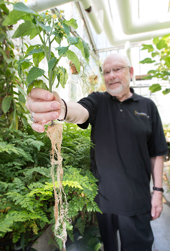 Roots play a key role in regulating where sugar ends up, such as in this tomato plant.