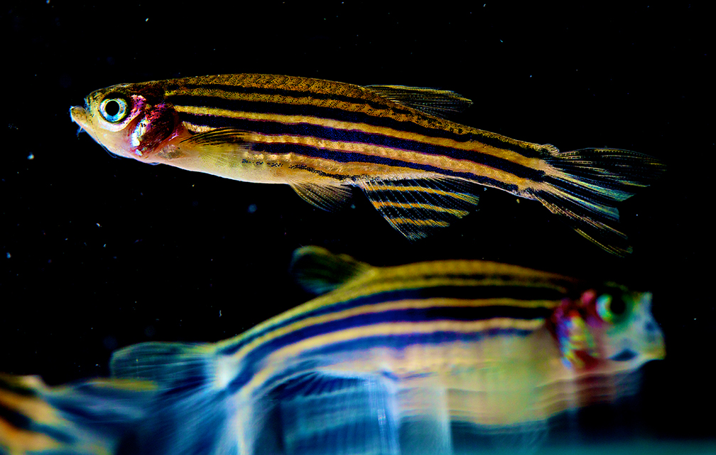 A zebrafish swims in its tank. Understanding how zebrafish move can give researchers insight into how certain diseases impact human motion. Photo courtesy National Institute of Child Health and Human Development.