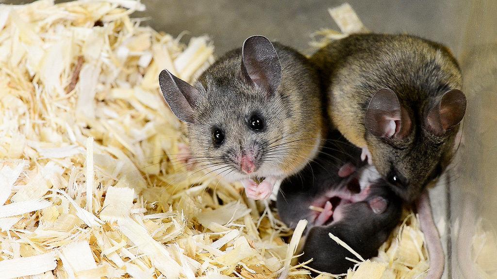 California mice 5sm.jpg