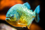 Strong Jaws and Sharp Teeth: Piranha research suggests evolutionary adaptations