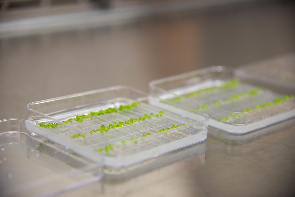 Arabidopsis sprouts