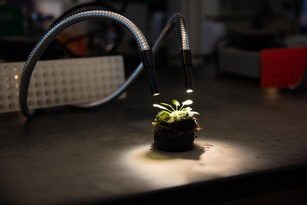 Arabidopsis under high light