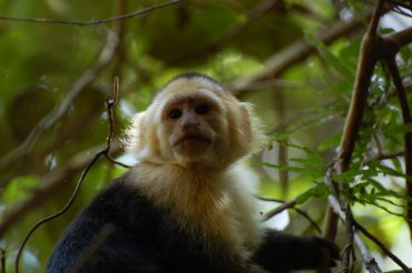Genetic link in primate points to source of adaption and longevity in capuchins